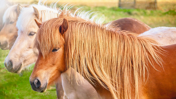 Icelandic horses, a hardy breed unique to Iceland.