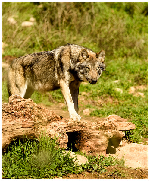 European wolf, Lobo Park, Antequera