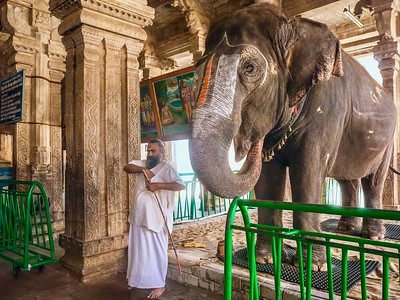 """A temple elephant, who """"blesses"""" Hindu devotees by placing her trunk on their heads --- a controversial practice because elephants often work long hours in poor conditions."""