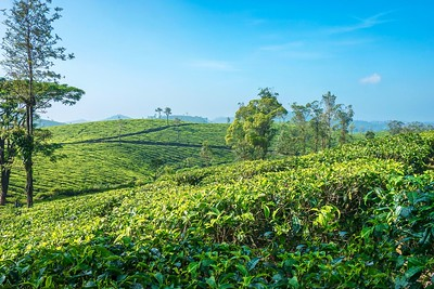 The beautiful rolling hills of a tea plantation.