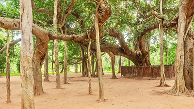 A beautiful specimen of an old Indian banyan tree (Latin - Ficus benghalensis), which produces aerial prop roots that grow into many new trunks.