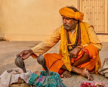 An Indian snake charmer leans over and touches the face of a king cobra snake that he has hypnotized.