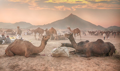 Camels Eating Breakfast