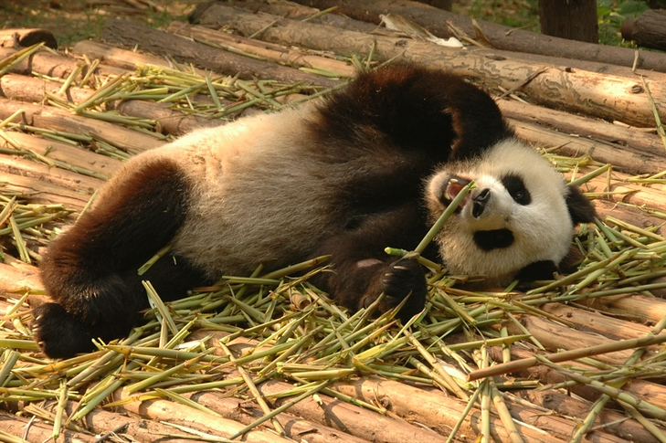 Panda Lying Down - Chengdu, China