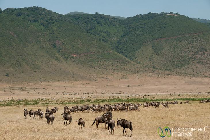 Wildebeest in Ngorongoro Crater - Tanzania