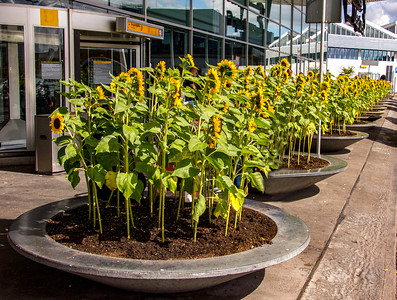Amsterdam airport - sunflower welcome!