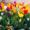 Tulips of Schärding
