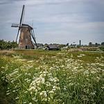 Flowery fields at Kinderdijk