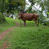 Cow on the trail