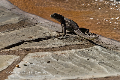 Female Agama Lizard