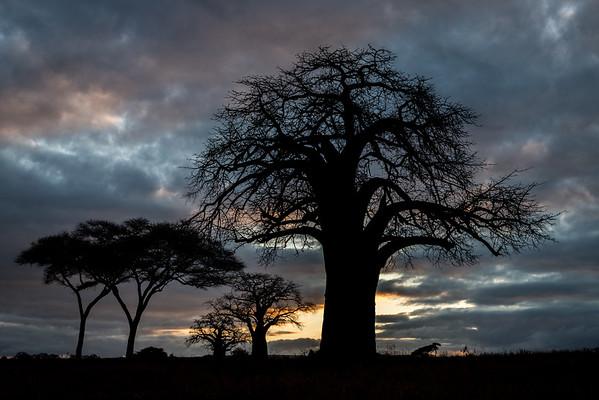 Baobab Dawn