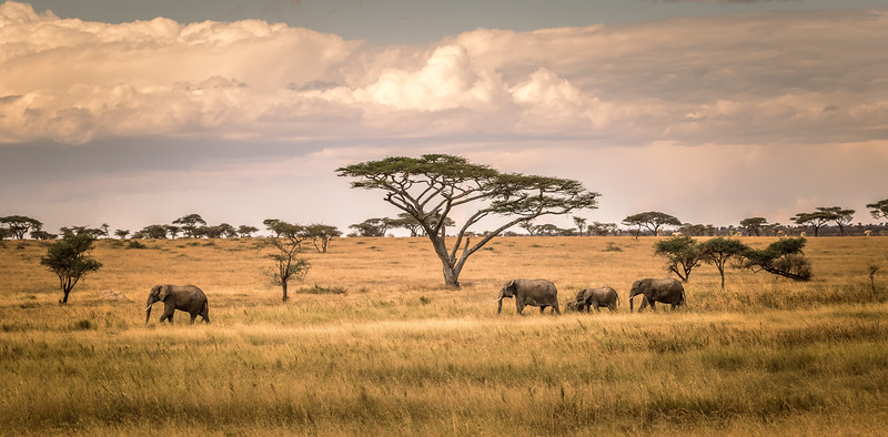 Elephants and Acacias