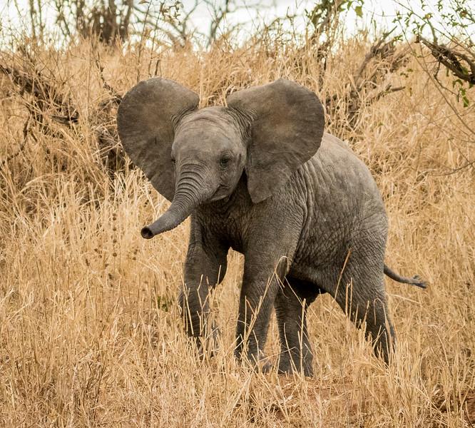 Baby Elephant Charge