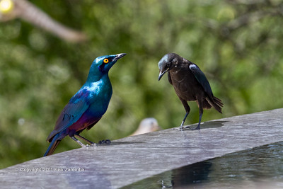 Sycobius Greater Blue-eared Starling