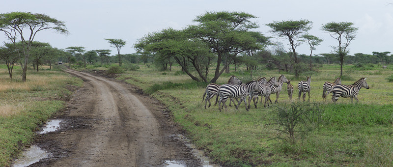 Almost immediately, we begin to see wildlife. A hundred feet from the airstrip, zebras cross the road