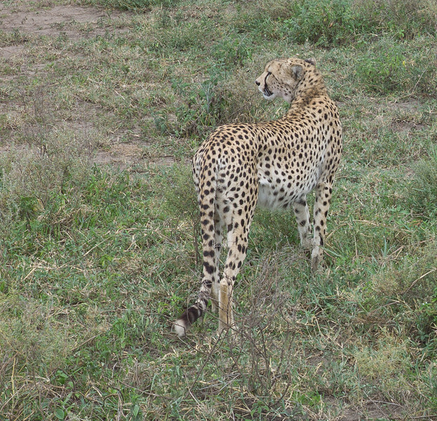 Always alert, the Mother constantly scans the long grass for signs of danger while her cubs eat. <br /> <br /> Up to 90% of cheetah cubs are killed by lions, leopards, hyenas, wild dogs, and eagles.