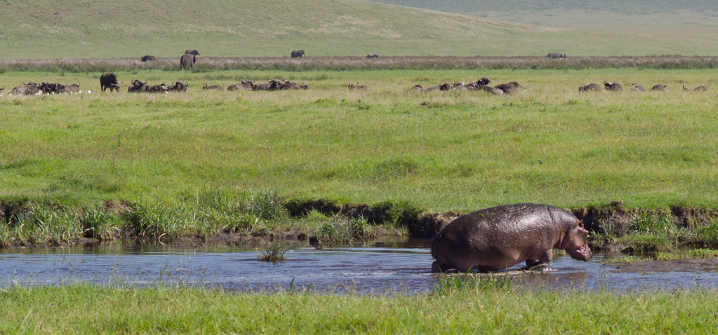 © Robert Will 2013<br /> <br /> The hippo disappeared from sight within minutes - pausing only briefly for a quick dip in a nearby pool. Last we saw him, he was moving steadily like a man on a mission.<br /> <br /> A herd of Cape Buffalo (and a few Elephants) look on.