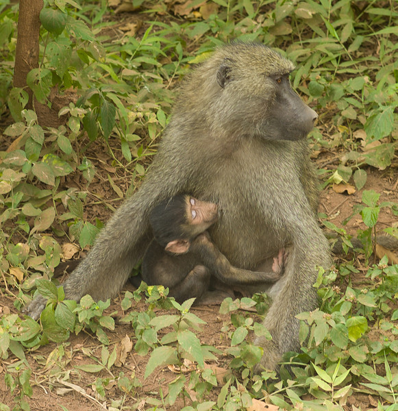 Baboon with baby.