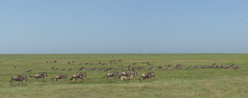 Every year, millions of Wildebeest migrate from the Masai Mara in southwest Kenya to the Southern Serengeti seeking water and grazing grounds<br /> <br /> Wildebeest follow the rains, and it is not unusual to see large groups of them running hard towards distant rain clouds.<br /> <br /> A newborn Wildebeest can stand within minutes, and run with the herd within a day.