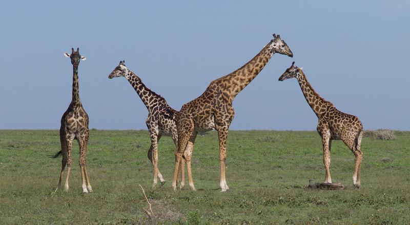 Giraffes investigate a recent kill - a wildebeest baby.