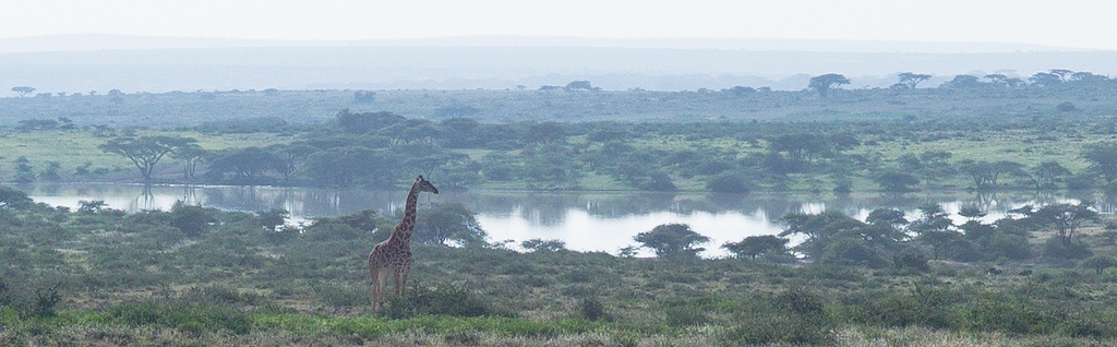 © Robert Will 2013<br /> <br /> Giraffe in the Morning