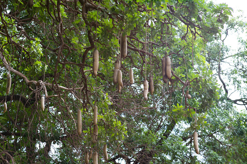 These pumpkin like gourds are the fruit of the Sausage Tree. Locals are careful not to sit beneath these trees, as the gourds are heavy and can seriously injure you when they fall.