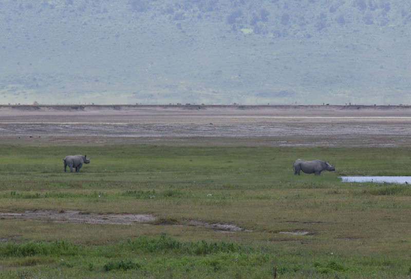 Black rhinos are almost extinct because of poaching. The protected Ngorongoro Crater is one of the few places in Africa that they can still be seen.