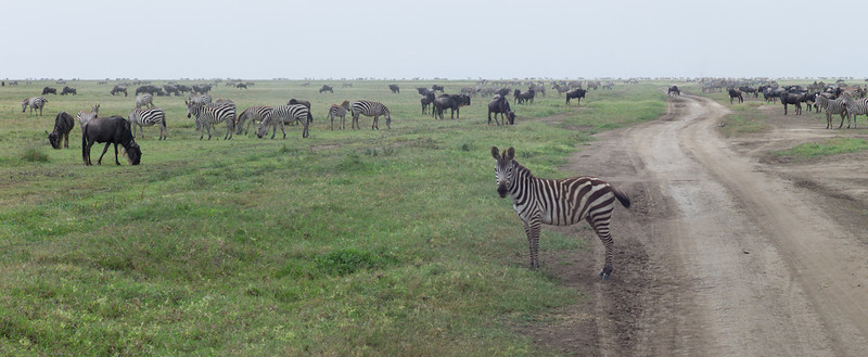 A million and a half wildebeest are joined by hundreds of thousands of Zebras and Gazelles on the Migration.<br /> <br /> The result is a huge mixed herd that stretches from horizon to horizon.