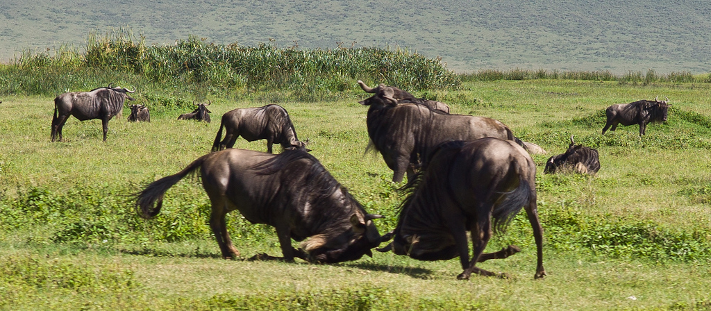 © Robert Will 2013<br /> <br /> Young wildebeest rough house while grazing on the lush vegetation of the Crater.