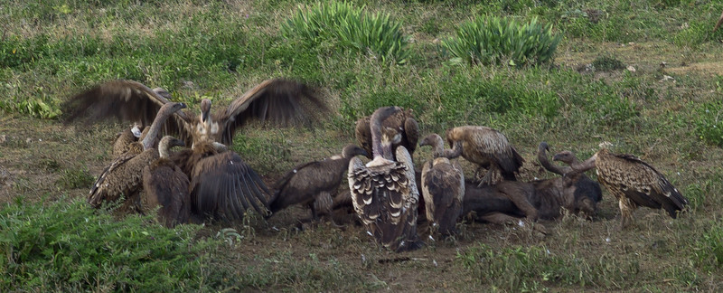 A couple of hundred meters from our tent, a wildebeest was killed in the night by a lion.<br /> <br /> By the time we found him the next morning, the lion was long gone, and the vultures had moved in.