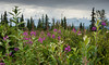 Fireweed and Mt McKinley
