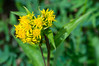 Northern Goldenrod