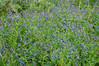Artic Bluebells