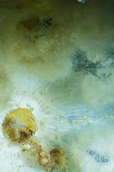Sea Anemone