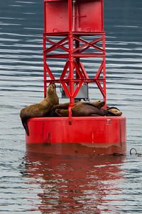Sea Lions on Buoy