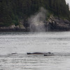 Humpback Whales Blowing Mist