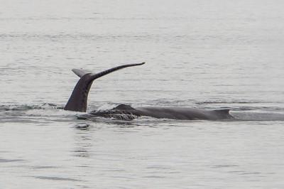Humpback whale fluke