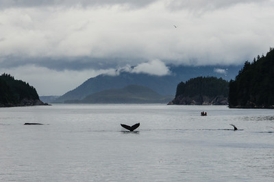 Humpback Whales in the Distance