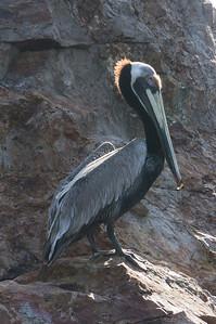 Brown Pelican A Brown Pelican on the rocks of Isla Bona in the Gulf of Panama.