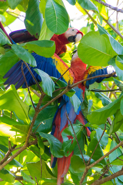 Scarlet Macaw Spreading Wings<br /> A pair of Scarlet Macaws seen in a tree at the beach at Playa Caletas in Costa Rica.