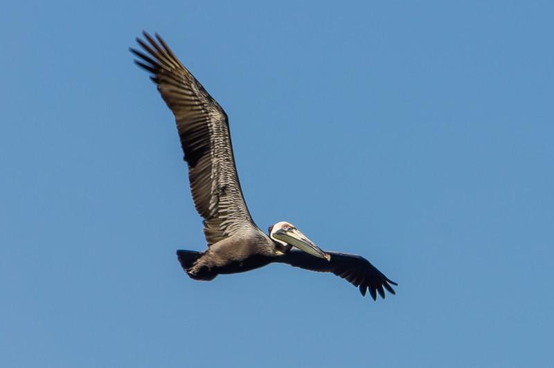 Brown Pelican in Flight<br /> A Brown Pelican flying near Isla Bona in the Gulf of Panama.