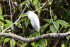 Snowy Egret<br /> This Snowy Egret was perched along the Agujitas River in Costa Rica.