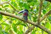 Fiery-billed Aracari<br /> This Fiery-billed Aracari was seen in a tree  in the Manuel Antonio National Park, Costa Rica.