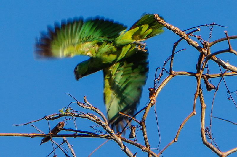 Red Lored Parrot in Flight<br /> A Red Lored Parrot in flight at the Isla Coiba National Park, park headquarters, Panama.