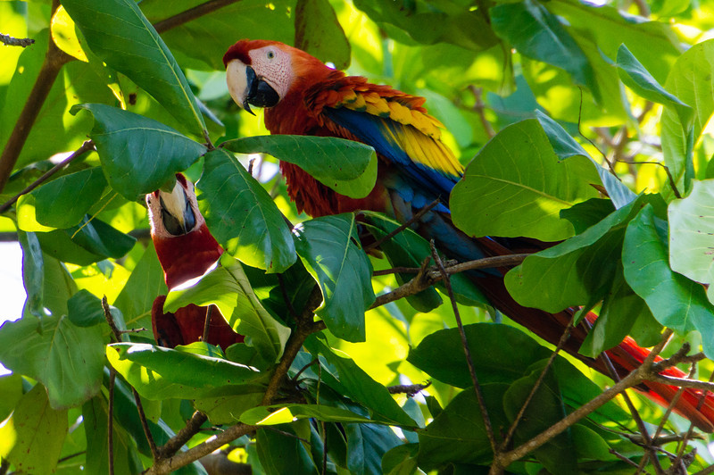Scarlet Macaws<br /> A pairt of Scarlet Macaws seen in a tree at the beach at Playa Caletas in Costa Rica.