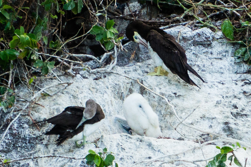 Brown Boobie Family<br /> A pair of Brown Boobies and their chick, in their nest on Isla Bona in the Gulf of Panama.