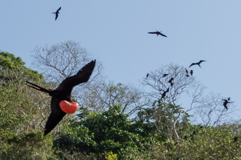 Male Frigate Bird<br /> The bird on theleft is a male Magnificant Frigate Bird, displaying its red throat to attreact a mate.  These birds were seen around Isla Bona in the Gulf of Panama.