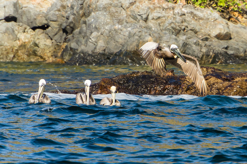 Brown Pelicans<br /> Four Brown Pelicans, one in flight, near Isla Bona in the Gulf of Panama.