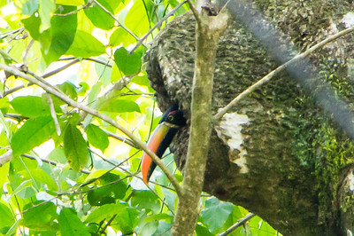 Fiery-billed Aracari in Nest This Fiery-billed Aracari is nesting in a hollow in a tree trunk.
