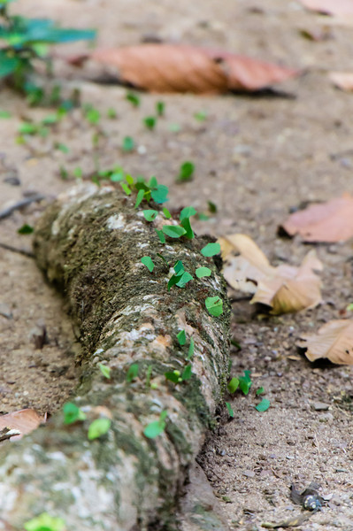 Leaf Cutter Ant Highway<br /> Here is a trail of Leaf Cutter Ants returning to their nest with freshly cut leaves to feed to their captive fungus.